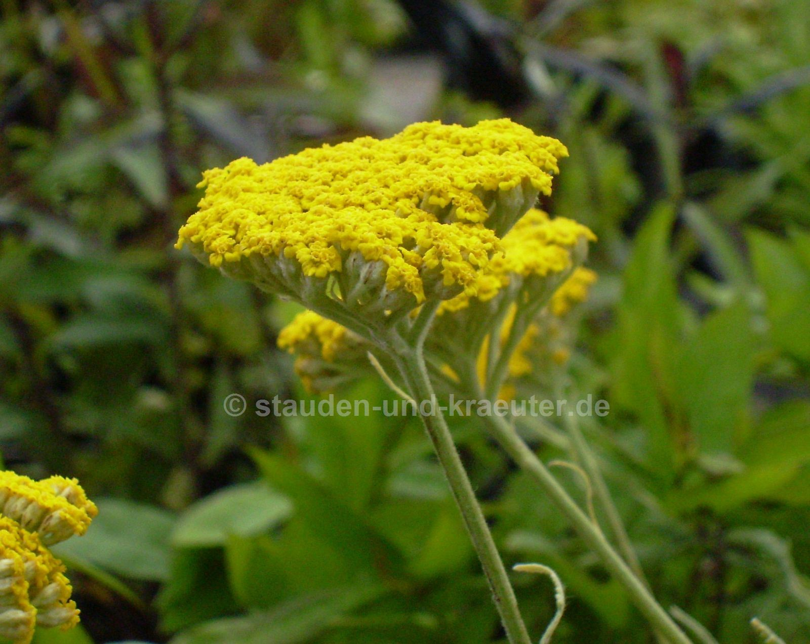 "Achillea x ""Coronation Gold"""