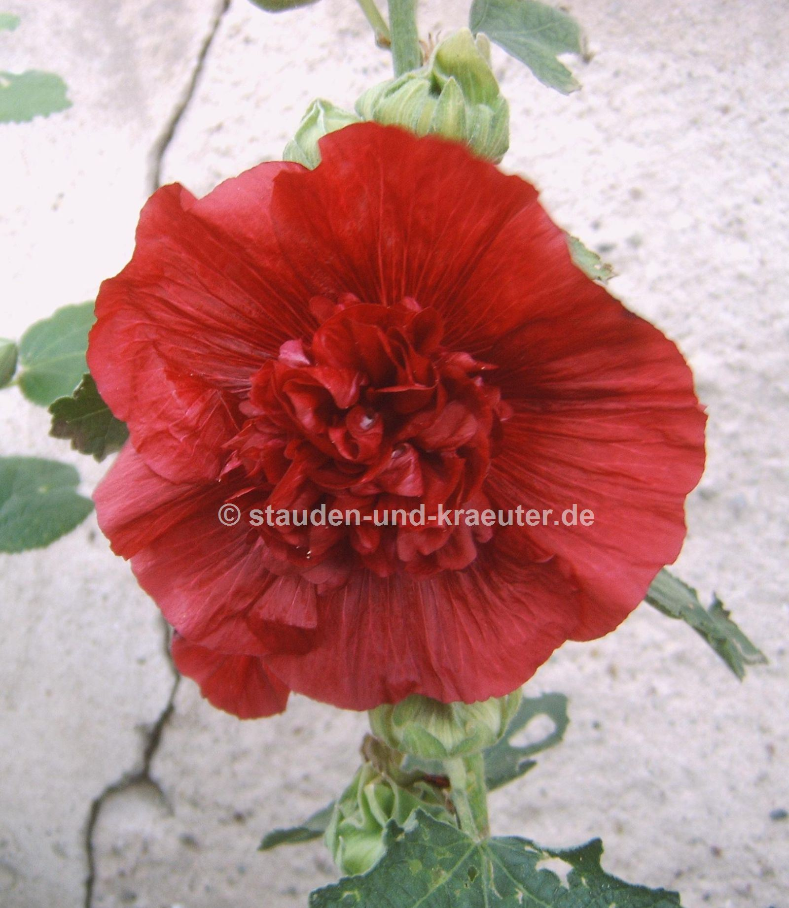 "Alcea rosea ""Chaters Rot"""