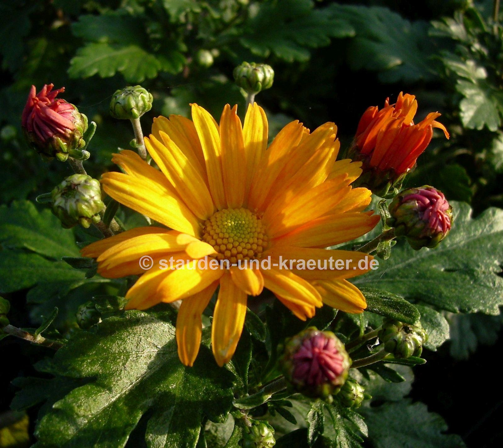 "Chrysanthemum x ""Halloween"""