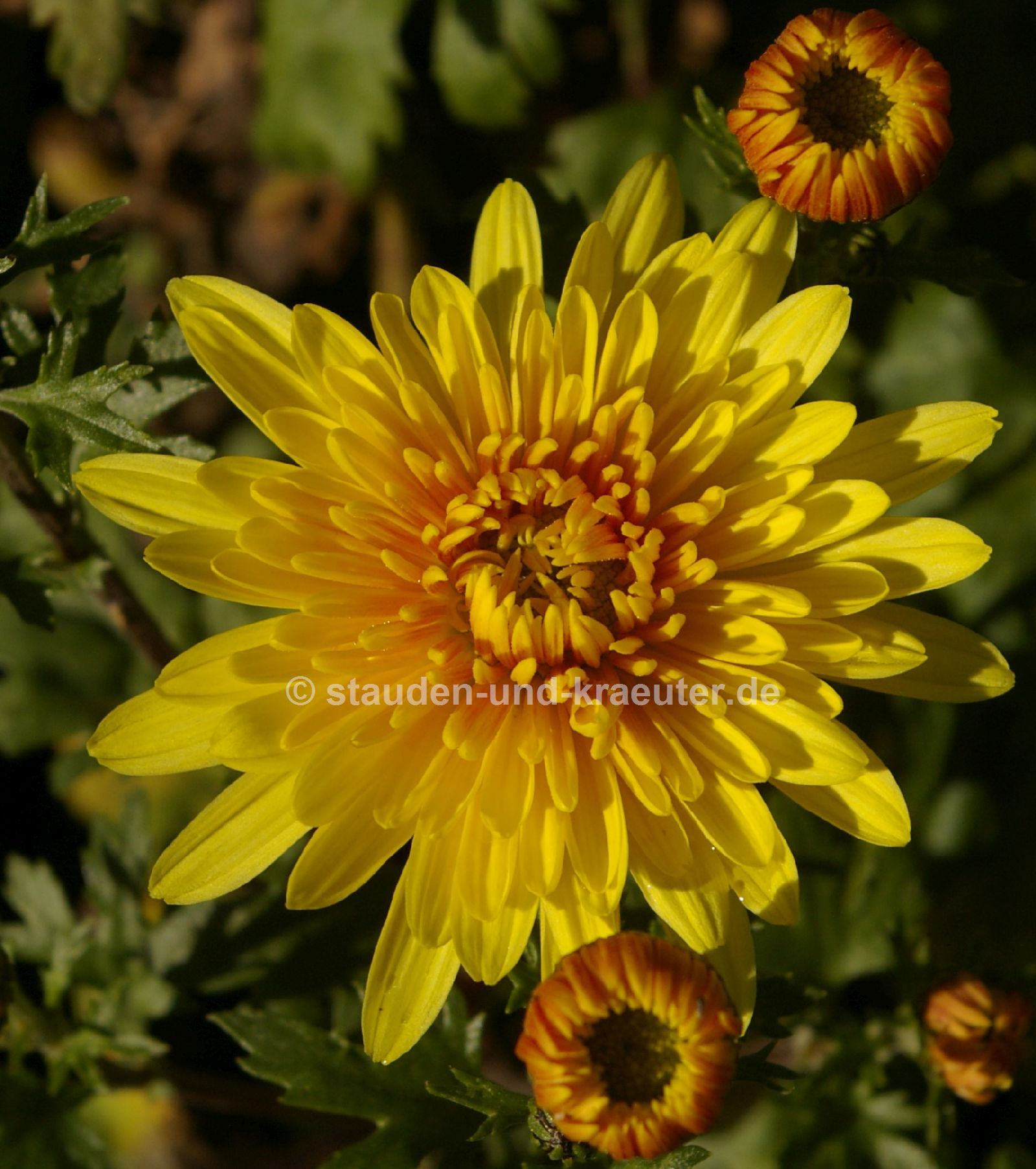 Chrysanthemum x