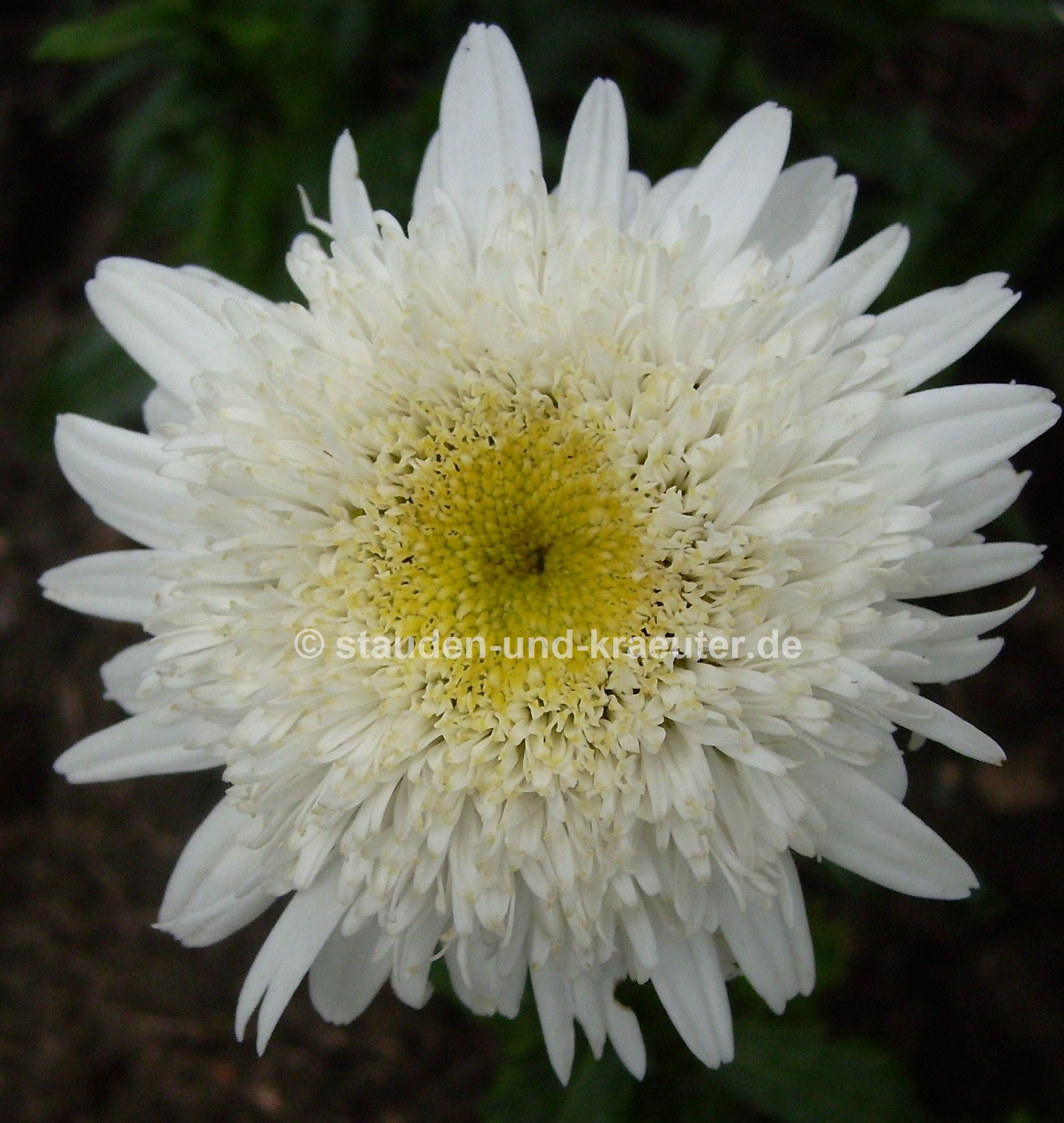"Chrysanthemum maximum ""Stina"""