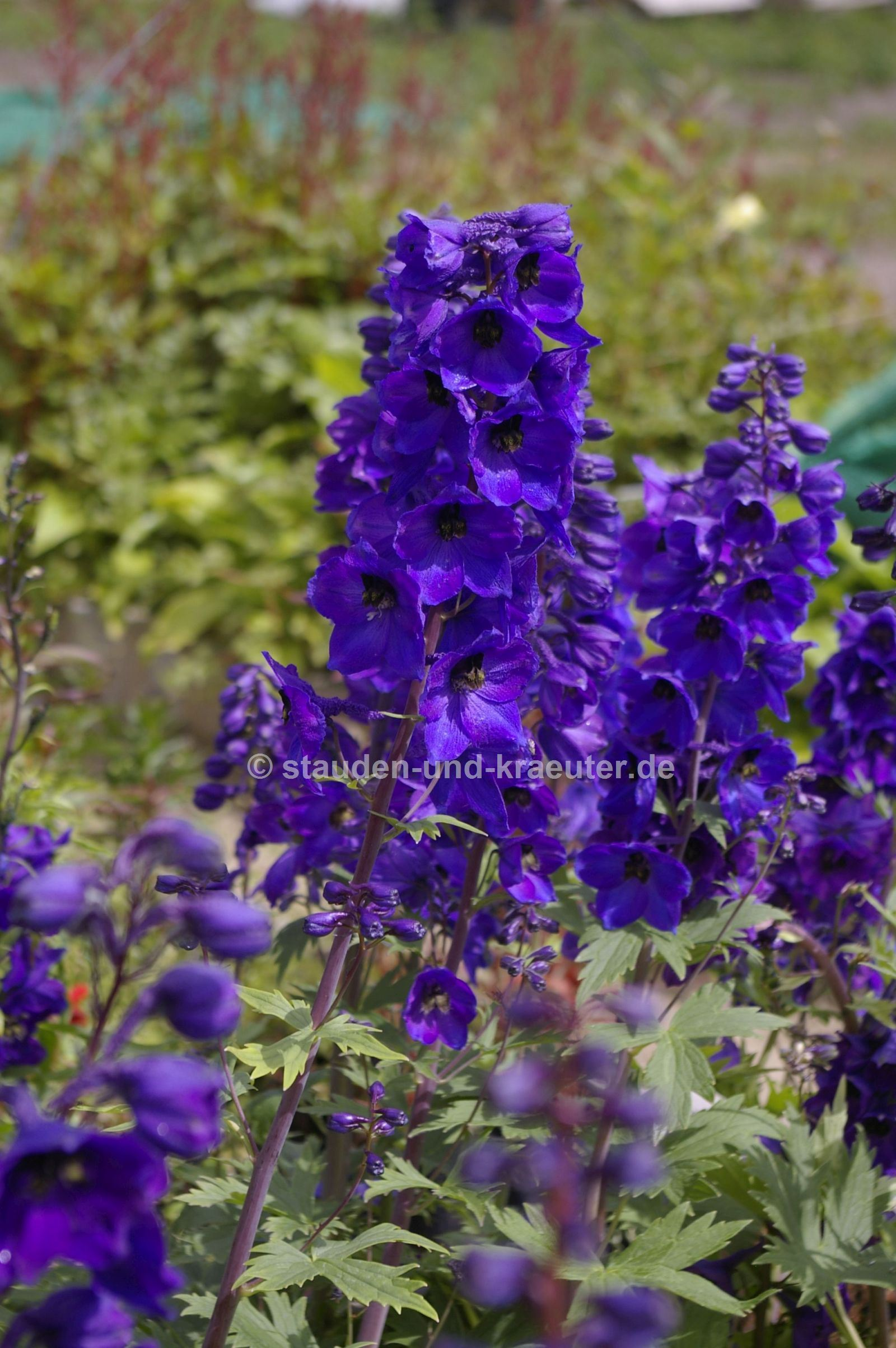 "Delphinium x ""Black Knight"""