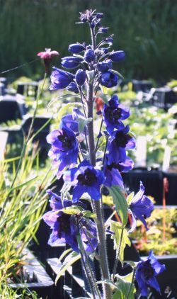 "Delphinium x ""Magic Fountain Dunkelblau"""
