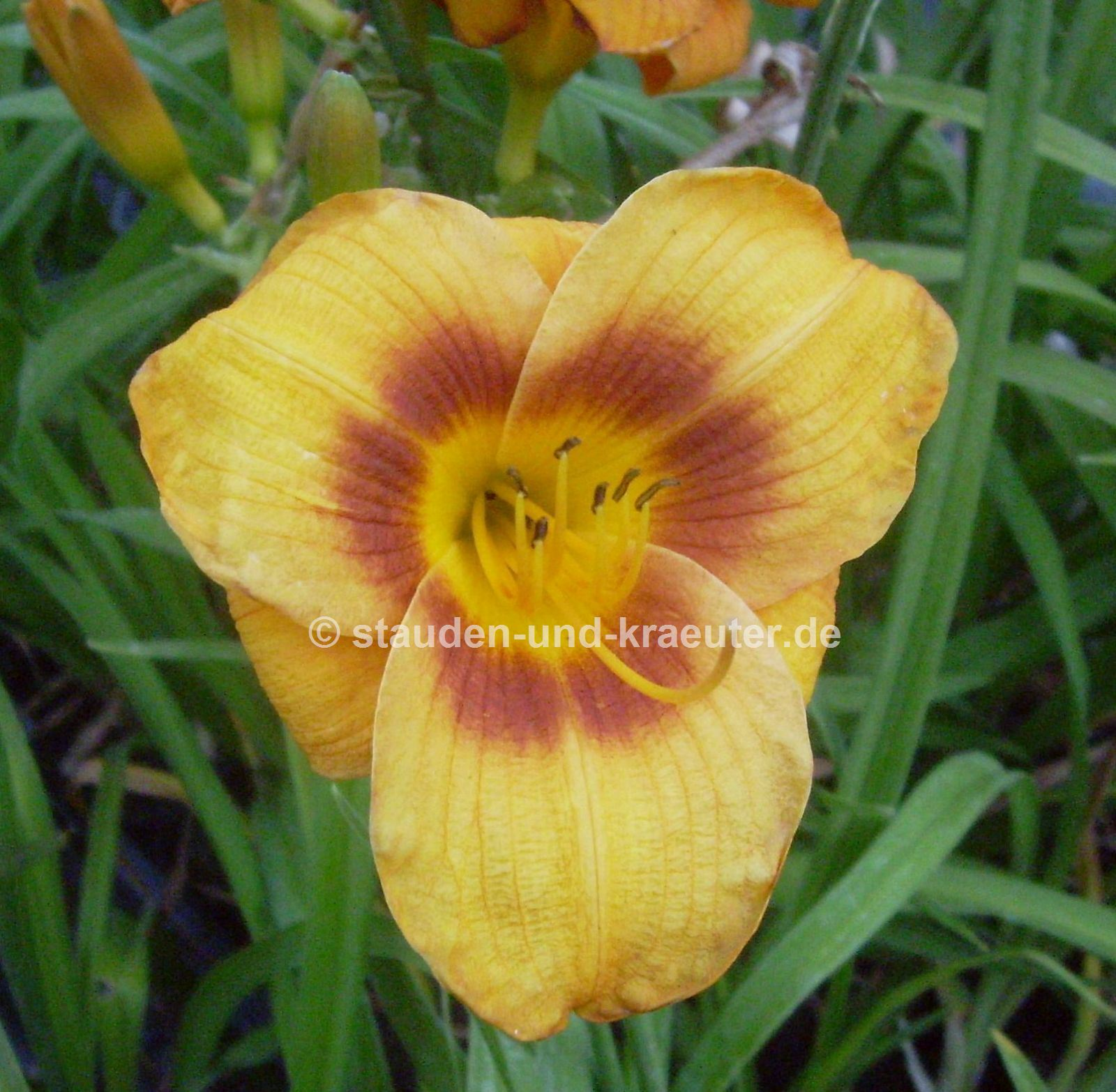 "Hemerocallis ""Bumble Bee"""