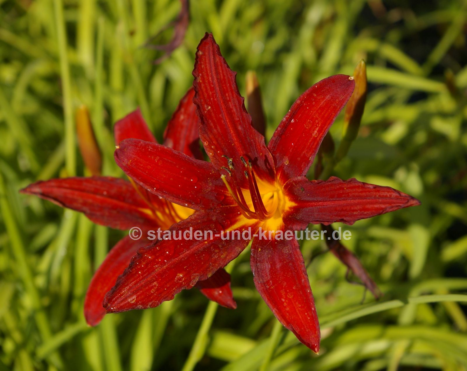 "Hemerocallis ""Crimson Pirate"""