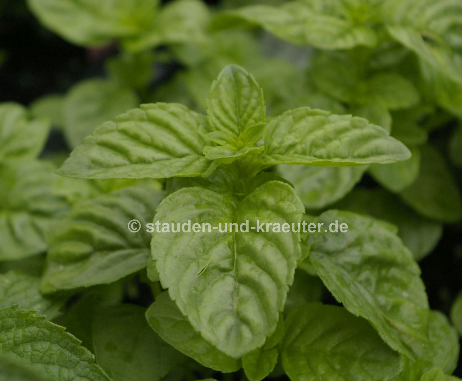 "Mentha species ""Mentuccia"""
