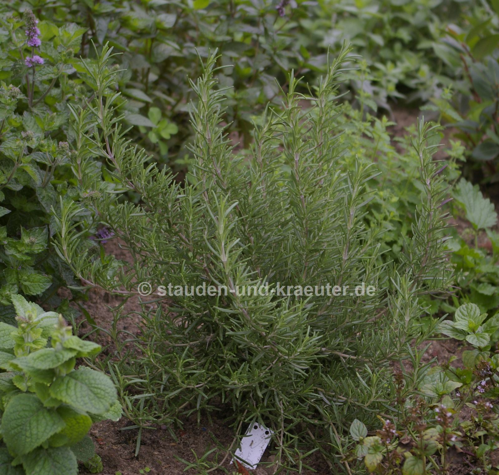 "Rosmarinus officinalis ""Salem"""